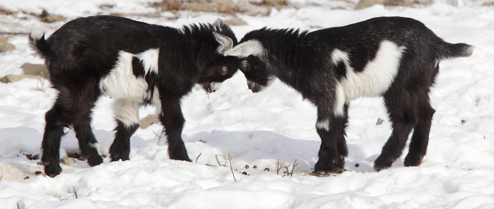 Two baby pygmy goats butt heads in their pen on Reservoir Road in Middletown on Monday, Jan. 11, 2010. The goats are about six weeks old.