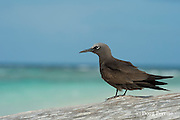 brown noddy or common noddy, Anous stolidus, East Island, French Frigate Shoals, Papahanaumokuakea Marine National Monument, Northwest Hawaiian Islands, Hawaii ( Central Pacific Ocean )