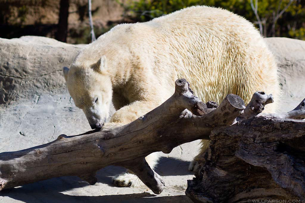 A polar bear at the San Diego Zoo