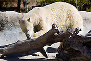 A polar bear at the San Diego Zoo