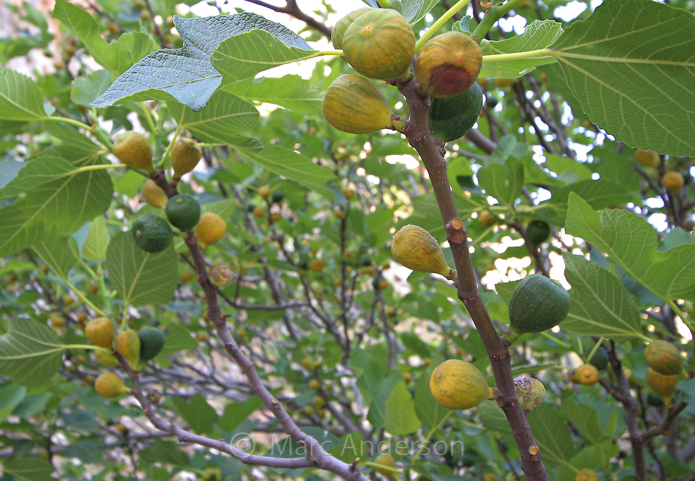 Figs growing on a Common Fig tree, (Ficus carica) Andalucia, Spain.