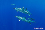 Hawaiian spinner dolphins or Gray's spinner dolphin or long-snouted spinner dolphins, Stenella longirostris longirostris, Honaunau, Kona Coast, Big Island, Hawaii ( Central Pacific Ocean )