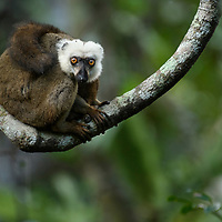 White-fronted Brown Lemur (Eulemur albifrons), male. Marojejy National Park, Antsiranana, Madagascar.