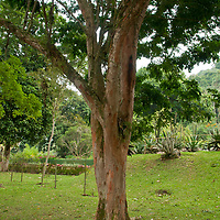 Pau-brasil (Caesalpinia echinata Lam.), Jardim Botanico, Rio de Janeiro, Brasil, foto de Ze Paiva, Vista Imagens.