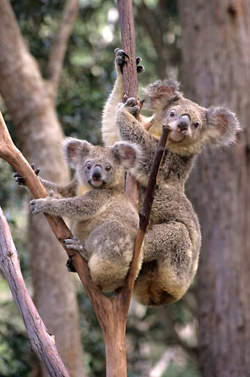 Koala, (Phascolarctos cinereus) Mother & baby. Australia.  Captive Animal.