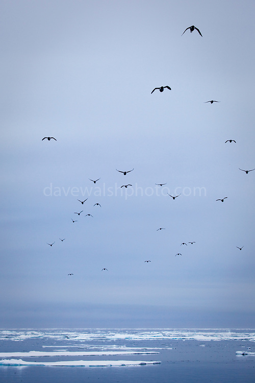 Brünnich's Guillemots, Uria lomvia, flying over the sea ice, in the Arctic Ocean, north of Svalbard