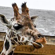 Giraffe Annual weigh in at ZSL London Zoo on 23 August 2018, London, UK.