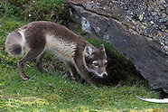 14: KONGSFJORD FOX & SEAL