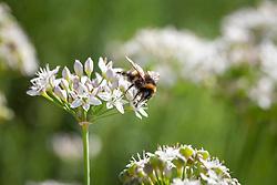 Bee on garlic chives. Allium tuberosum. Chinese chives