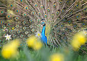 2011_03_25_Spring_Peacock_SSI