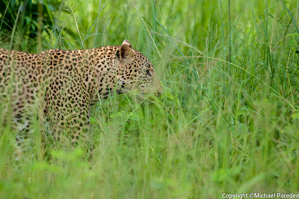 A wild leopard slips into tall grass in the Luangwa River Valley, Zambia *50% of the proceeds from this image will go to Conservation  the South Luangwa , which plays a huge role in the conservation of wildlife and community development in the Luangwa valley. Thanks for your support!