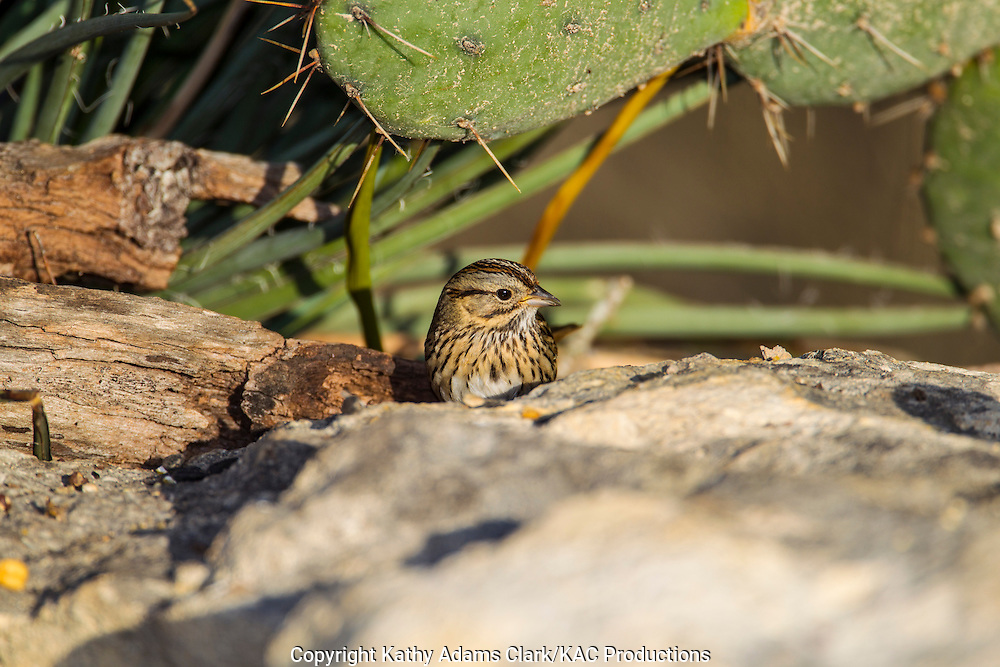 Lincoln's Sparrow (Melospiza lincolnii) in the Texas Hill Country near Fredericksburg and Comfort, Texas.