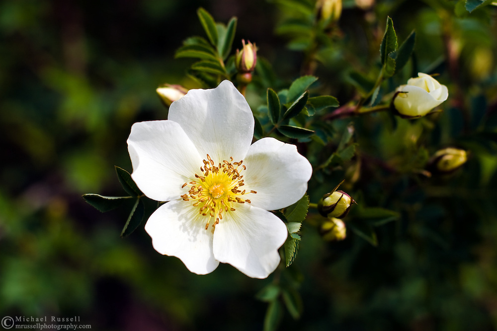 White species rose - Burnet/Scotch Briar Rose (Rosa spinosissima) in garden