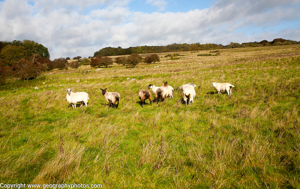 Sheep grazing, Fyfield Down national nature reserve, Marlborough Downs, Wiltshire, England, UK