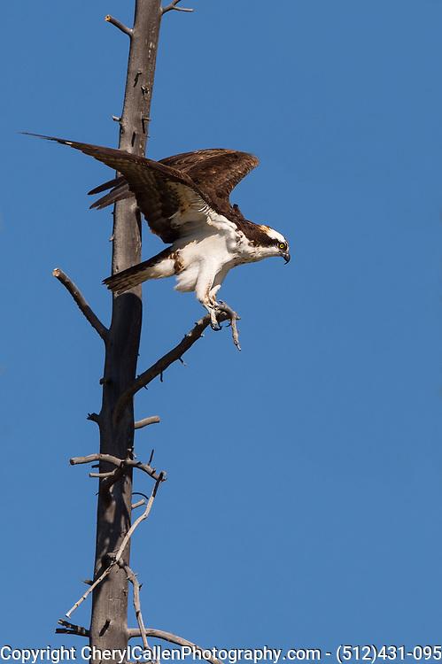 Osprey - taking off for flight