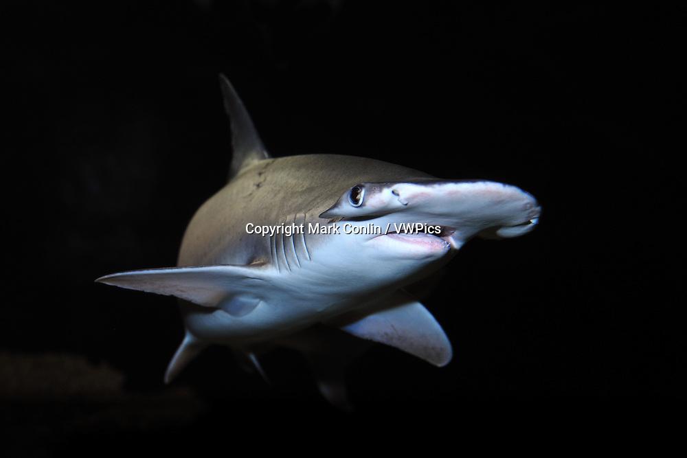 Bonnethead, Sphyrna tiburo, captive