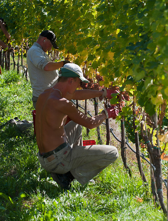 UNSPECIFIED, ITALY - OCTOBER 13:  Two workers manually harvest Gewurztraminer grapes at Abbazia di Novacella on October 13, 2010 in Varna, Italy. Abbazia di Novacella, in Alto Adige established in the year 1142 by Augustinian monks, is one of the oldest vineries in the world; it has a production of about 400,000 bottles of world class wines including Kerner, Sylvaner, Pinot Grigio, Gewurztraminer.