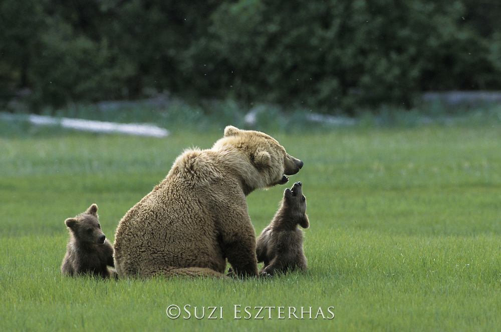 Grizzly Bear <br /> Ursus arctos<br /> 4-6 month old cub (s) playing with mom<br /> Katmai National Park