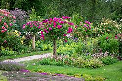 Avenue of standard roses