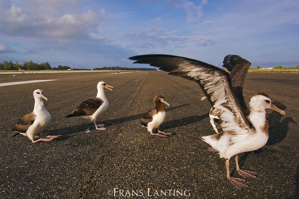 Laysan albatrosses on runway, Phoebastria immutabilis, Miway Atoll, Hawaiian Leeward Islands