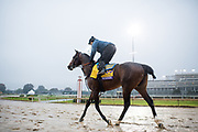 November 1-3, 2018: Breeders' Cup Horse Racing World Championships. McKinzie, trained by Bob Baffert, exercises in preparation for the Breeders' Cup Classic
