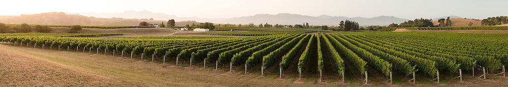 Rows of grapevines run at dusk, Brancott Estate, Marborough, New Zealand.