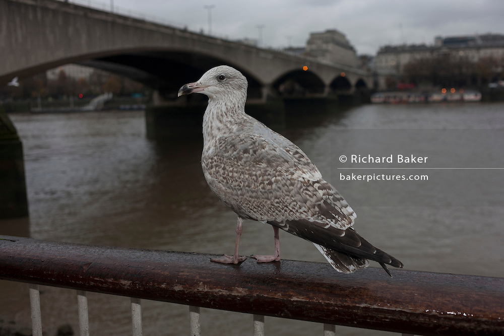 A large seagull perched on a rail overlooking the Thames river on London's Southbank, England.