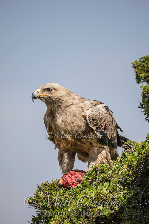 Tawny Eagle which is a powerful bird of prey perched in green tree guarding a fresh kill or carrion in the Masai Mara Reserve, Kenya, Africa (photo by Wildlife Photographer Matt Considine)