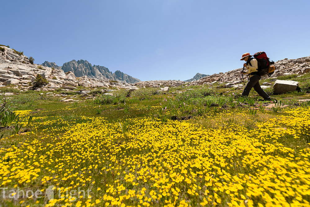 Backpacking through yellow monkey paw wildflowers into the Dusy Basin in the High Sierra mountain range in California.