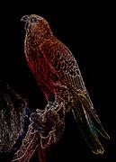 Pop art rendering of a Saker Falcon named Athena at the Carolina Raptor Center in Charlotte, North Carolina