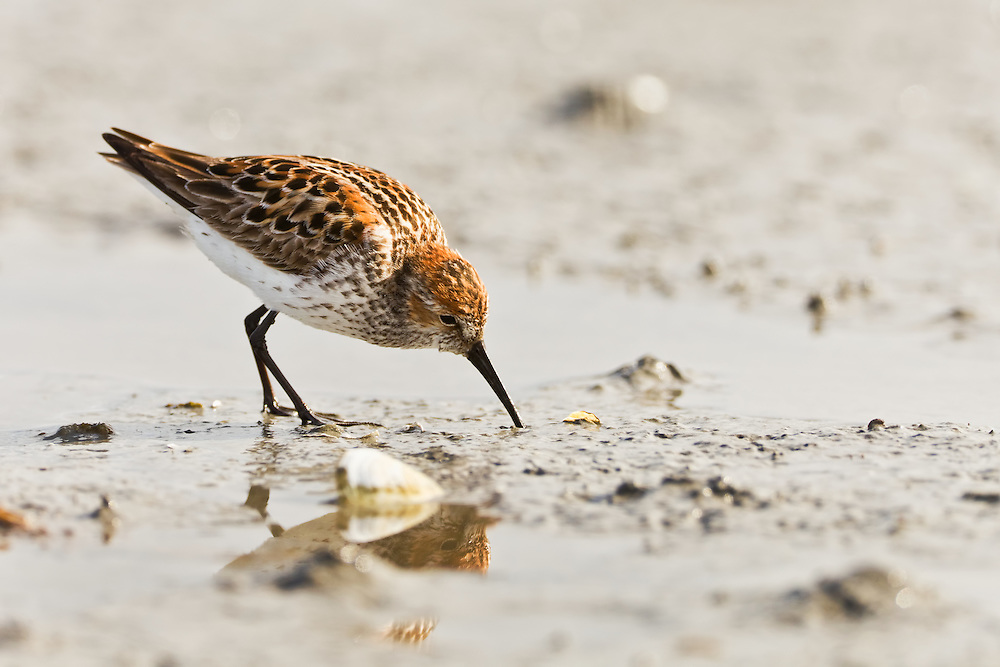 Migrating Western Sandpipers (Calidris mauri) stop by Hartney Bay in the Copper River Delta region of Prince William Sound in Southcentral Alaska to refuel before continuing their journey to the arctic to breed. Spring. Morning.