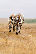 Two zebras grazing in California off Highway 1 on a hazy morning.