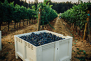 Oregon Wine Press- Anne_Amie_Harvest