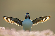 Puffin (Fratercula arctica) wing flapping in evening light, Fair Isle, Scotland.