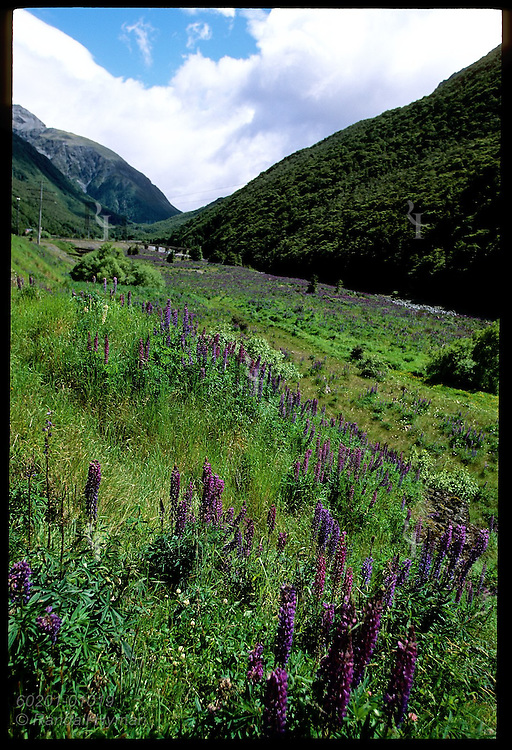 Purple lupine fills field beside railway at Arthur's Pass village in the Southern Alps of New Zealand.