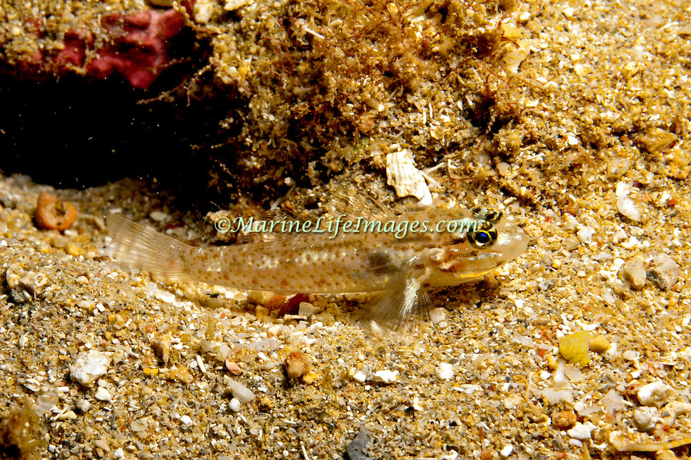 Colon Goby inhabit sandy coral rubble adjacent to coral reefs in Tropical West Pacific; picture taken Grand Cayman.