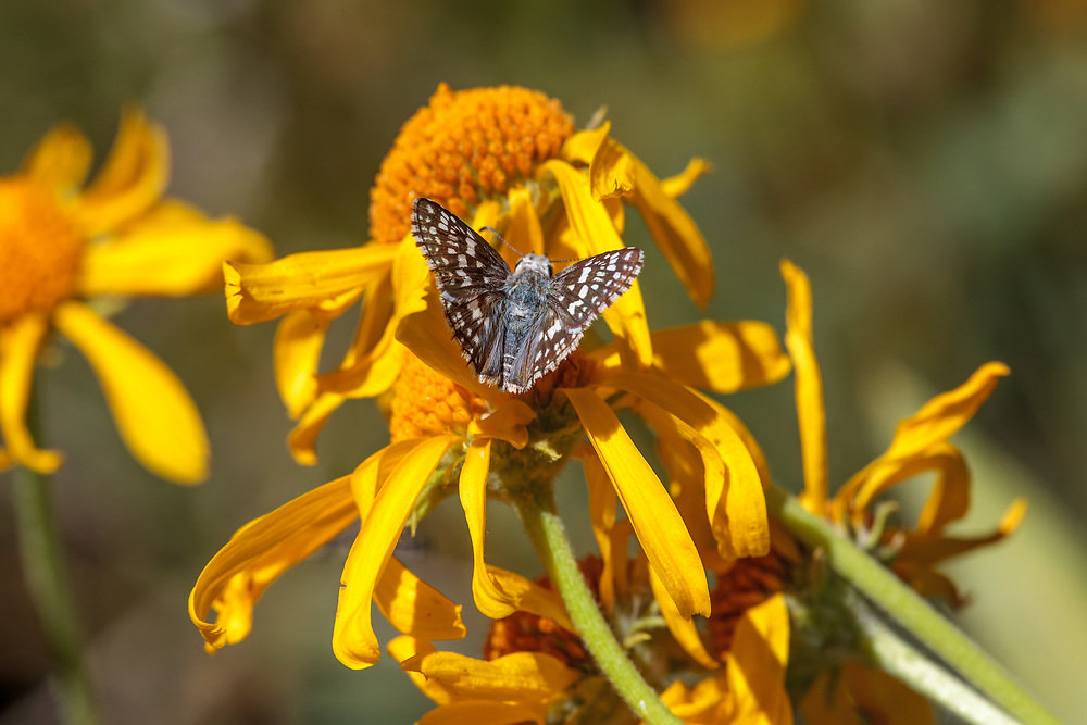 Pyrgus communis (Common Checkered Skipper) at Poison Meadow, Tulare Co, CA, USA, on Bigelow's Sneezeweed 19-Jul-12
