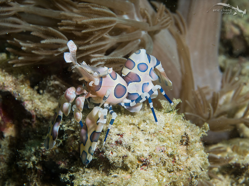 Harlequin shrimp (Hymenocera elegans). Wainilu, Rinca, Komodo National Park, Indonesia.