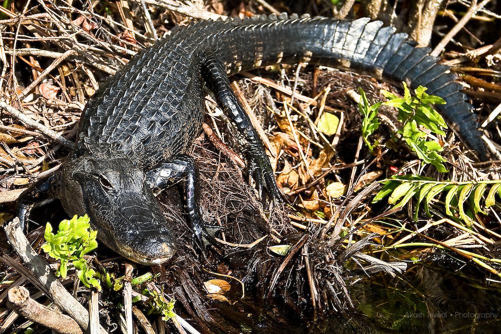Everglades Gator Park
