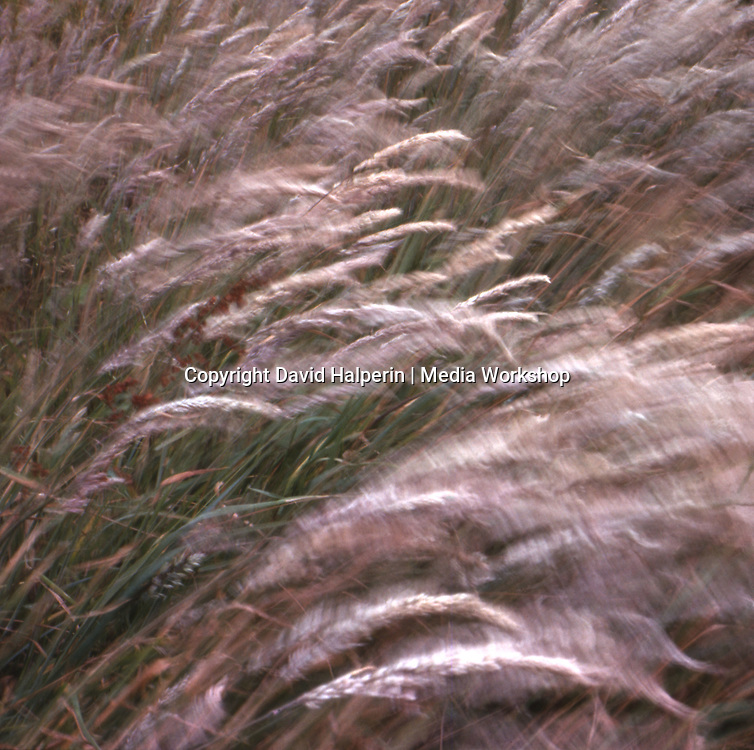 Long grasses waving in the wind.