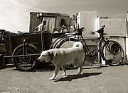 Bratislava, Slovakia (13/06/2006).One of Jano's dogs stands guard of his bicycle and trailer as Jano goes into his makeshift home. Jano lives on the edge of the city and makes his living from scrap metal.**Heavy Metal Lifestyle