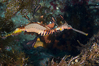 Male Weedy Sea Dragon Carrying Eggs..Shot in Australia