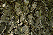 Bark of an ancient sessile oak (Quercus petraea) in the National Park Saxon Switzerland (Saechsische Schweiz). Europe, central europe, Germany