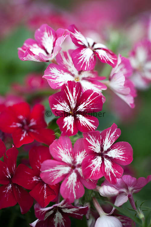Phlox drummondii grandiflora 'Stars and Stripes' - annual phlox