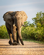 A Big Elephant is walking in my direction on the gravel road with a soft and beautiful light of the sunrise at Kruger National Park in South Africa<br /> photo credit by: &copy;Claudio Zamagni