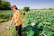 16 MARCH 2006 - KAMPONG CHAM, KAMPONG CHAM, CAMBODIA: A woman harvest lotus blossoms near the city of Kampong Cham  in central Cambodia. Lotus blossoms are used for food and temple offerings in Cambodia, Thailand and Laos. PHOTO BY JACK KURTZ