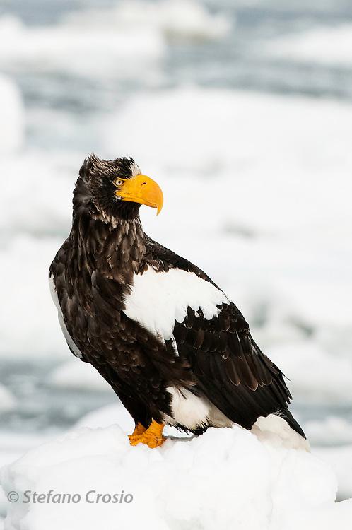 JAPAN, Eastern Hokkaido.Steller's sea eagle (Haliaeetus pelagicus) (IUCN 2010: Vulnerable)