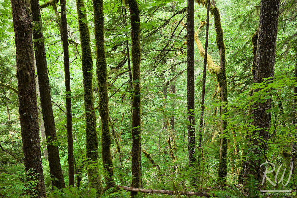 Temperate Rainforest in Eagle Creek, Columbia River Gorge National Scenic Area, Oregon