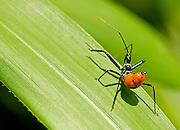 Wheel bug on a bamboo leaf.
