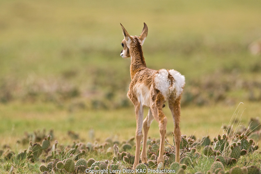 Pronghorn (Antilocapra americana) new born on the prairie at Pawnee National Grasslands, Colorado, USA, showing white hair on rump as danger signal